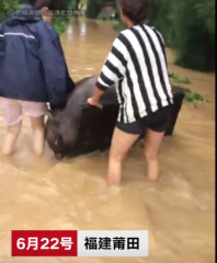 暴雨袭击养猪场致一千多头猪跑出 养殖人员嚎啕大哭