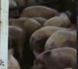 为什么国外进口的冷冻猪肉价格十分低廉? 说出来你都不信