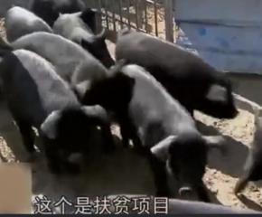 这个品种的猪成本超低,利润却很高,一头能赚1000元