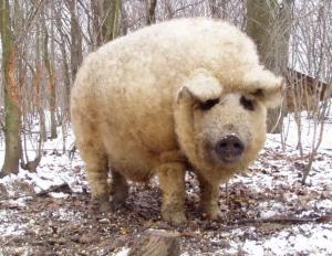 """一种猪和羊的""""结合体"""",表现的跟狗一样,比普通猪贵5倍"""