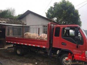 望城贫困户养生猪滞销,爱心企业主动上门求购