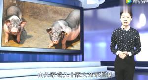 猪价持续下跌,养殖散户却说:最好跌到一元一斤,不跌饭碗难保!