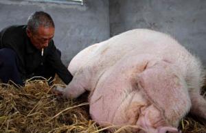 老汉养了一只七百斤的猪,当卖的时候哭了出来