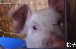 农村养猪户注意, 夏天这3种疾病易导致肥猪死亡, 需要提高警惕
