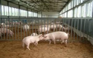 """养猪大户改变养殖观念,创""""跑猪"""",年入50万"""