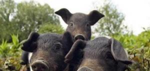 真以为在农村养野猪真比养家猪赚钱?在大猪场面前,众猪平等!!