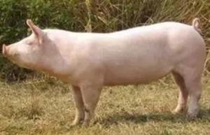 对养猪一窍不通,短短一年利润达到100多万,养殖技巧逆天了