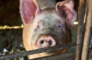 猪价持续飘红,屠企们试图压价,未来生猪价格行情将如何走?
