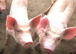 农村猪价跌得这么快?究竟是什么原因?今天终于明白了!