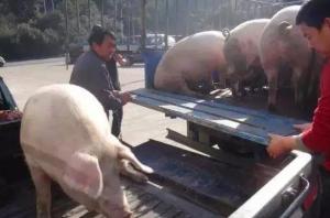 猪价一片绿,养猪户们的猪都没有卖掉呢?到底是该怪谁呢?