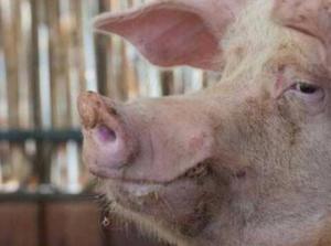 想要提高繁育效率,你得额外给母猪一些福利!