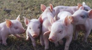 猪舍地沟通风,美国不装地沟风机