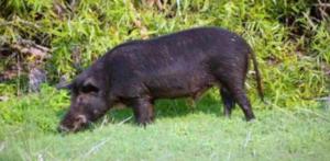 小伙打猎打到蓝色肉的猪,不敢食用上交给相关部门