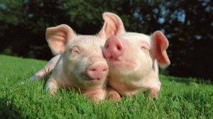 中国养猪业正在形成五大门槛?不断增加和提高...