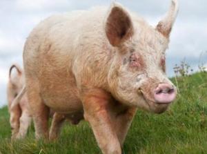 如何在高温季节保证种猪精液品质?