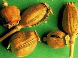 听信谣言,罂粟能治猪拉稀,结果...