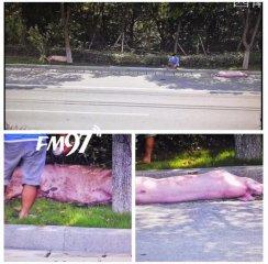 猪:求放过―从运猪车上滚下