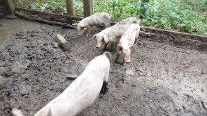 缅甸一地区爆发猪瘟,