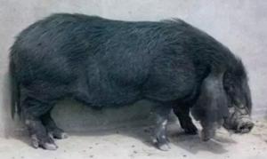 养了这么多年的猪,知道中国八大名猪吗?
