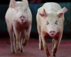猪市脱了缰,猪价飙涨!