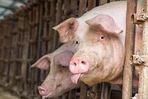暑湿天气如何提升猪场生产性能?