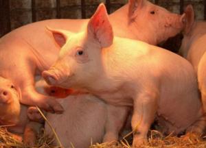 极端高温肆虐全球~产房母猪开始躁动不安......