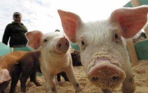 关税重挫猪肉出口,美国猪农:失去中国市场是个巨大的损失!
