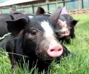 让中国人吃上爱吃的猪肉,他是怎么做到的呢?