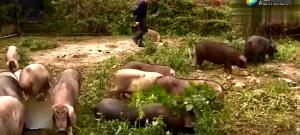 一次最多能生31头小猪,这母猪堪称产仔冠军!