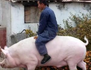 猪价定多少才有利润?专家给农民算了这么