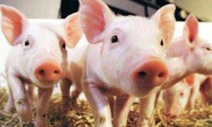 夏天给小猪洗澡就等于让小猪生病!