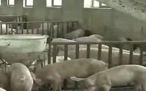 生猪价格持续上涨!养殖户不要高兴太早 专家:不要惜售!