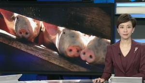 江苏连云港发生一起非洲猪瘟疫情!88头生猪已死亡
