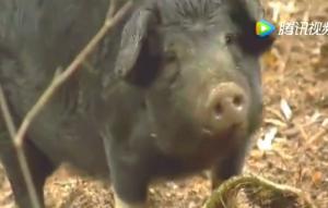 大爷养猪有新招,季候到了就放它出去找野公猪