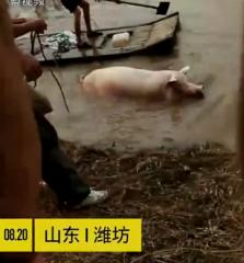 暴雨冲毁养猪场 村民河里撒网捞猪……