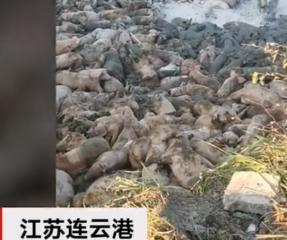 江苏连云港发生非洲猪瘟疫情 直击疫区生猪扑杀现场