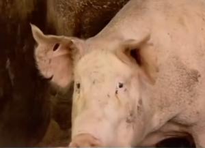 专家猜测:非洲猪瘟疫情可能通过边境非法交易传入我国,具体途径在调查中……