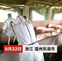 温州发生非洲猪瘟疫情 疫点内1332头生猪被全部扑杀