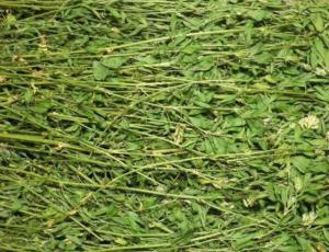 养猪有了苜蓿草,还需要担心豆粕涨价吗?
