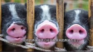 养猪人总结养猪的最基本的原则,说出了养猪人的心里话……