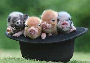 纯种猪繁育,一项高度专业化的生产工作!