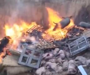 再现猪瘟!上千头猪全部火化、掩埋处理!