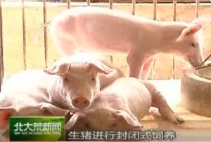 非洲猪瘟主要蚊虫叮咬传播 教你如何通过猪皮识别猪瘟肉