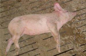 猪突然瘫痪,倒地不起咋回事?