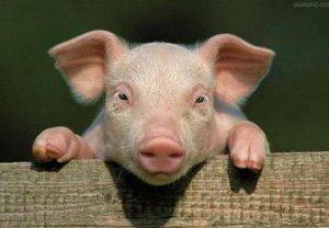 疫区邻近省份生猪禁运,短期猪价波动大