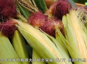 今年玉米秋季收获,价格能上涨到1元吗?听听专家怎么说
