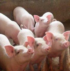 猪经济不收杂毛猪?杂交、毛色遗传了解一下!