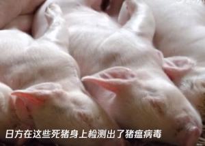 日本养猪场瞒报猪瘟疫情 60头死猪被悄悄做成了堆肥