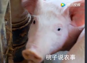 农村养猪户注意了,猪不吃食是哪些原因导致的?现在知道还不晚