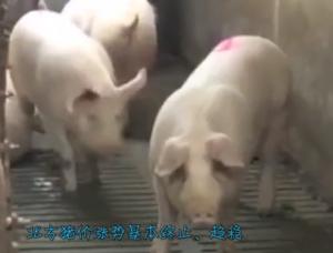 北方猪价又涨不动了,养殖户急得焦头烂额!